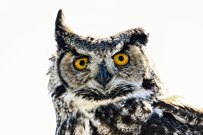 File:Great Horned Owl.jpg