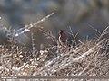 Great Rosefinch (Carpodacus rubicilla) (31978028812).jpg