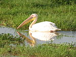 Great White Pelican in Amboseli National Park.JPG