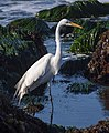 Great egret (12205).jpg