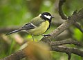 Great tit (37931138802).jpg