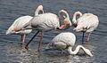Greater Flamingo, Phoenicopterus roseus at Marievale Nature Reserve, Gauteng, South Africa (9708420399).jpg