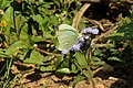 Green-eyed monster butterfly (Nepheronia buquetii).jpg