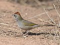 Green-tailed Towhee 4036vv.jpg