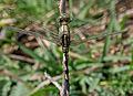 Green Marsh Hawk (Orthetrum sabina) W IMG 3462.jpg