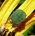 Green Sheildbug. Palomina prasina. 4th instar nymph. Pentatomidae - Flickr - gailhampshire.jpg