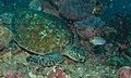 Green Turtle (Chelonia mydas) and Black-margined Damsel (Pomacentrus nigromarginatus) (8488795725).jpg