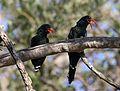 Green Wood Hoopoe, Phoeniculus purpureus, at Mapungubwe National Park, Limpopo, South Africa (30158171756).jpg
