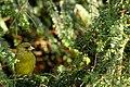 Greenfinch (7080066513).jpg