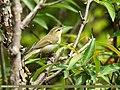 Greenish Warbler (Phylloscopus trochiloides) (30401253857).jpg