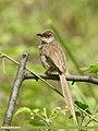 Grey-breasted Prinia (Prinia hodgsonii) (36283941143).jpg