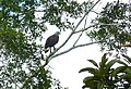 Grey-headed Fish Eagle (Ichthyophaga ichthyaetus) (8067787509).jpg
