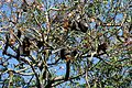 Grey-headed Flying-foxes - Flickr - GregTheBusker (2).jpg