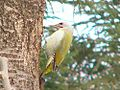 Grey-headed Woodpecker.jpg