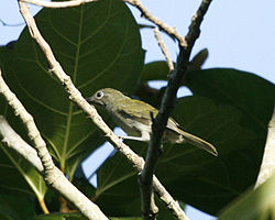 Grey-hooded White-eye (Lophozosterops pinaiae) - Flickr - Lip Kee.jpg