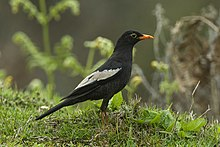 Grey-winged Blackbird - Bhutan S4E0223 (17234373941).jpg