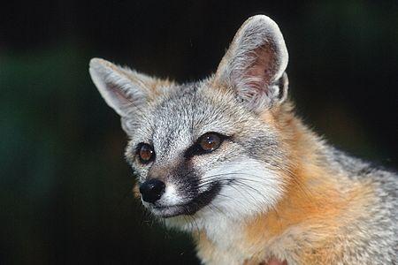 Grey Fox (Urocyon cinereoargenteus), portrait
