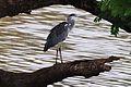 Grey Heron (2977465922).jpg