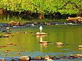 Grey Heron In The Morning Sun - panoramio.jpg