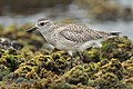 Grey Plover - Long Reef.jpg