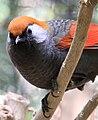 Grey and Orange bird 3 (3312538144).jpg