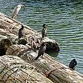 Grey heron and Great cormorants in Hori river - 1.jpg