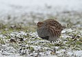 Grey partridge (47369485561).jpg