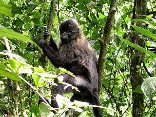 Crested mangabey Genus of Old World monkeys