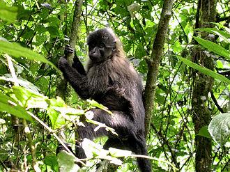 Crested mangabey - Juvenile Uganda mangabey