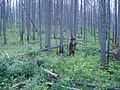 Grizzly bear rubbing on a tree (Northern Divide Grizzly Bear Project) (4427412207).jpg
