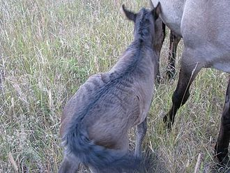 """Sorraia - Foal  with primitive markings and """"hair stroke"""""""
