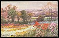 Guernsey.--A Field of Chrysanthemums (NBY 441078).jpg