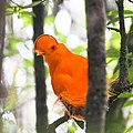 Guianan cock-of-the-rock-0349 - Flickr - Ragnhild & Neil Crawford.jpg