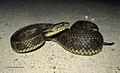 Gulf Salt Marsh Snake (Nerodia clarkii).jpg