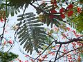 Gulmohar tree leaves.jpg