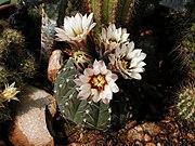Gymnocalycium stellatum20100503 105.jpg