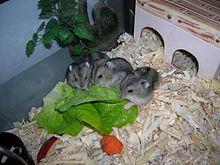 Quel est le poids idéal d'un hamster russe