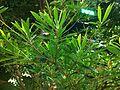 HK Admiralty 添馬公園 Tamar Park tree 水石榕 night Nov-2013 Elaeocarpus hainanensis 001.JPG