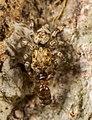 Habrocestum hongkongiense eating an ant.jpg