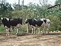 Hacienda de Carlos Vassallo cows in Dorado, Puerto Rico.jpg