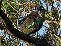 Hadada ibis Bostrychia hagedash Tanzania 0194 cropped Nevit.jpg