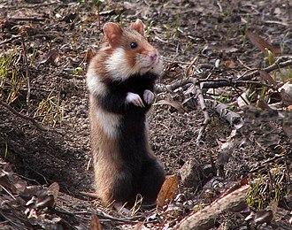 European hamster - Image: Hamster