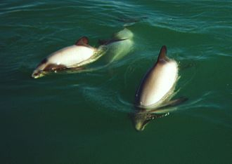 Hector's dolphin - Image: Hector's Dolphins at Porpoise Bay 1999 a cropped