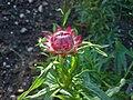 Helichrysum bracteatum (Garten-Strohblume)-1.JPG