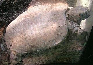 Arakan forest turtle species of reptile