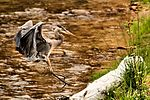 Heron - Zion National Park (16993126009).jpg