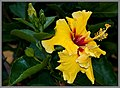 Hibiscus Yellow and Red-2+ (2557165143).jpg