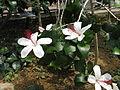 Hibiscus arnottianus2.jpg