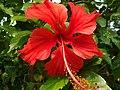 Hibiscus rosa-sinensis (জবা).jpg