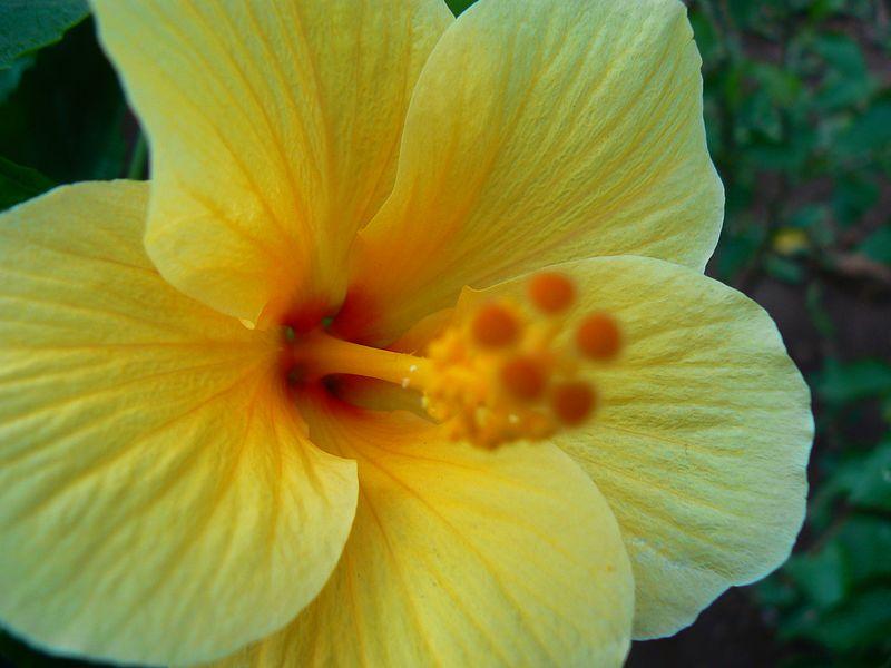 File:Hibiscus rosa-sinensis (348648307).jpg